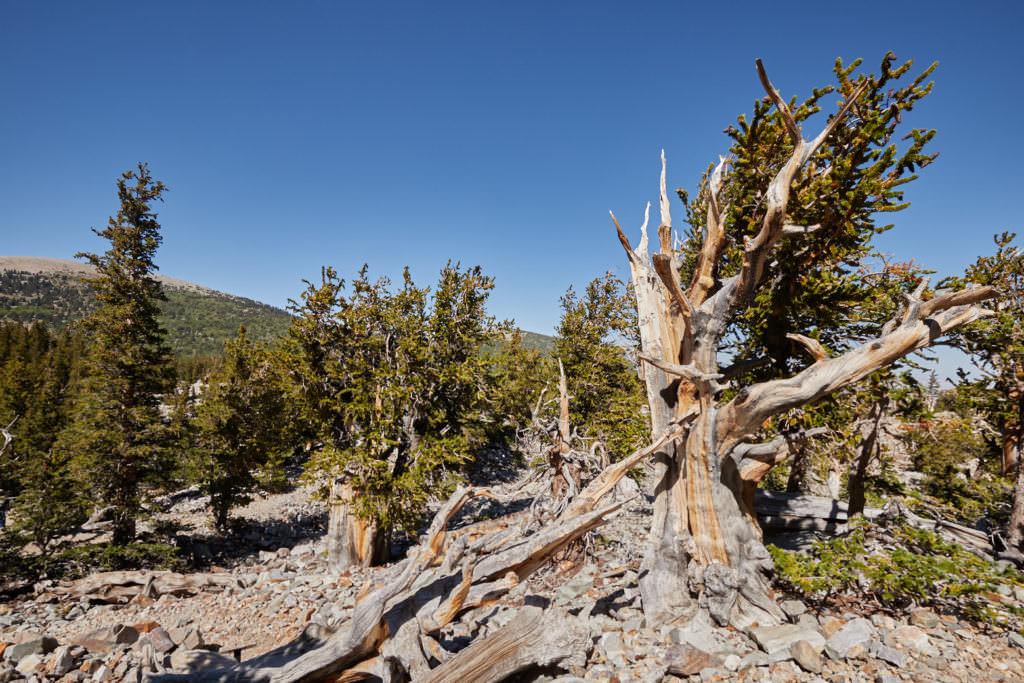 The Bristlecone Trail