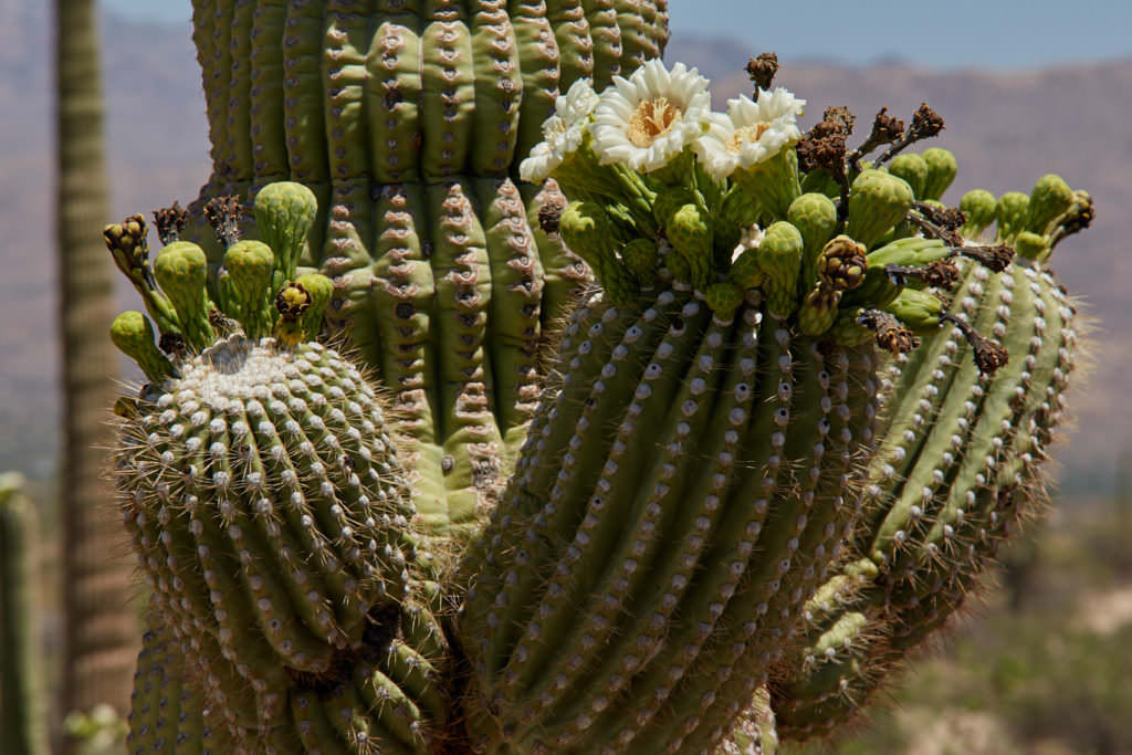 Saguaro NP Ost