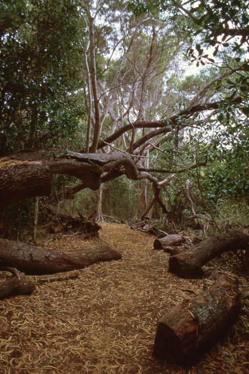 Napali - Kona Forest